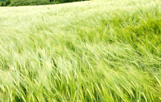 barley field in germany